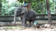 elephant in the zoo (HD 1080) video
