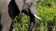 Elephant in Zimbabwe video