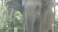 (HD1080i) Elephant Looks at Camera video