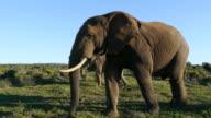 elephant male video