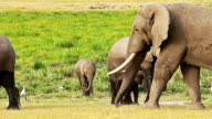 Elephant nursing her baby in Amboseli Park, Kenya video