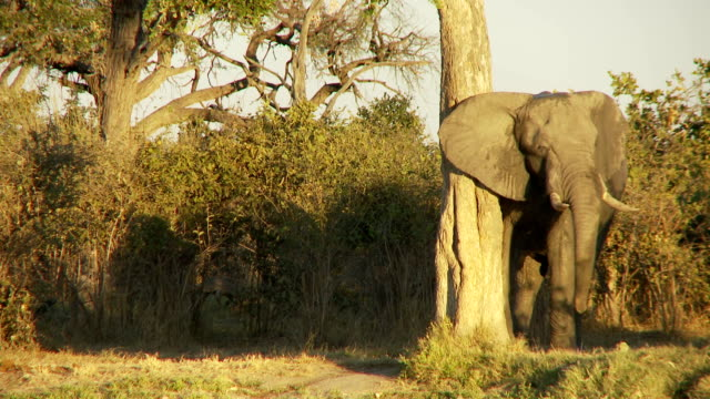 Elephant rubbing video