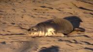 Elephant Seals on California Coast video