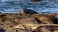Elephant Seals video