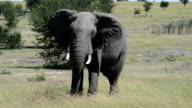 Elephant Shaking Head in Tanzania, Africa video