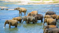 Elephants crossing the river video