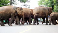 Elephants crossing the road. video