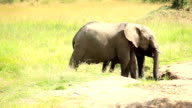 Elephants drinking and playing with water-01/13 video