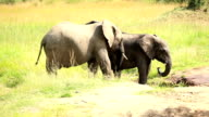 Elephants drinking and playing with water-12/13 video
