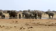 Elephants drinking at waterhole, Hwange, Africa wildlife video