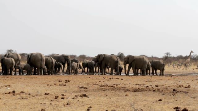 Elephants drinking at waterhole, Hwange, Africa wildlife video