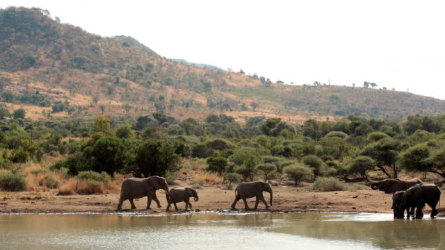 Elephants drinking from watering hole video