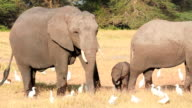Elephants eating grass in Amboseli Park, Kenya video