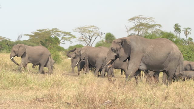 CLOSE UP: Elephants feeding on grass and throwing dirt on back using trunk video