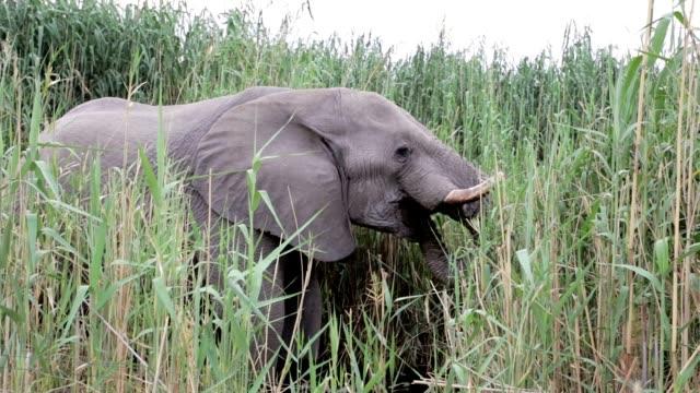 Elephants graze at Etosha, Africa wildlife video