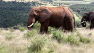 Elephants Grazing 1 video