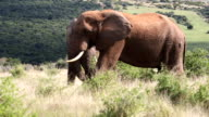 Elephants Grazing 2 video