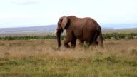 Elephants Grazing 3 video