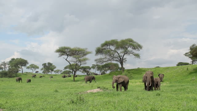 Elephants in lush green African plains . video