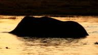 Elephants in silhouette swimming in a river in the Okavango Delta video