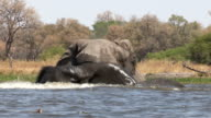 Elephants interacting and play fighting while swimming in a river in the Okavango Delta video