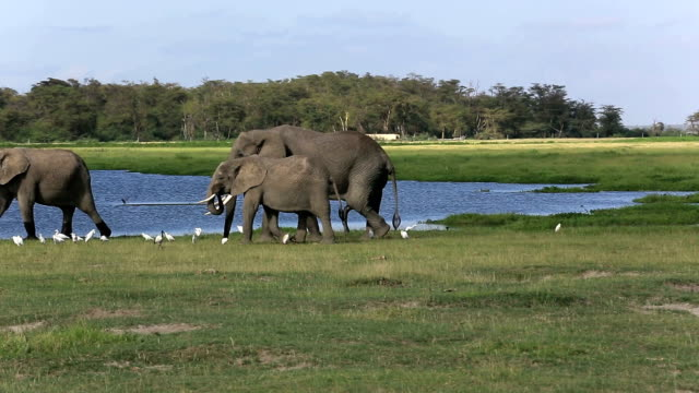 Elephants - ready to sex with big penis video