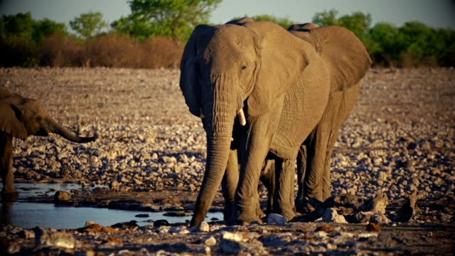 Elephants with baby video