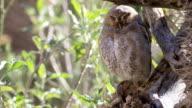 Elf Owl, Micrathene whitneyi resting video