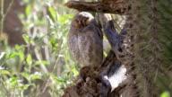 Elf Owl, Micrathene whitneyi roosting video