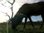 Elk Grazing in Front of Sun 1 video