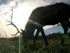 Elk Grazing in Front of Sun 2 video