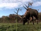 Elk Grazing, Low Angle 1 video