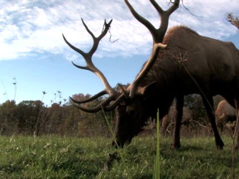 Elk Grazing, Low Angle 2 video