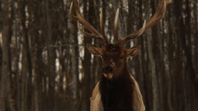 Elk in winter video