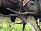 Elk, Males Battling 3 video