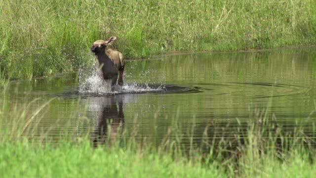 SLOW MOTION: Elk Pup video
