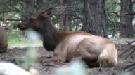 Elk Resting video