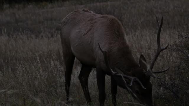 Elk: Rocky Mountain NP video
