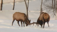 elks fighting video