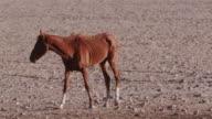 4K emaciated wild horse walking through the desert landscape video