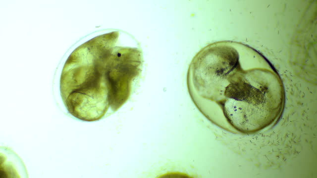 Embryo of snail in egg video