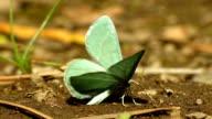 Emerald Moth video