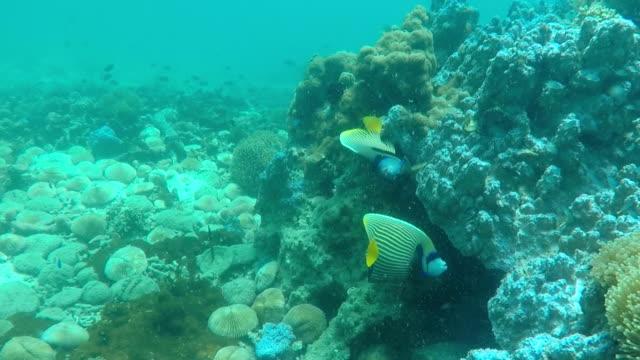 emperor angle fish under sea water video