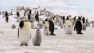 emperor penguin adult and chick video