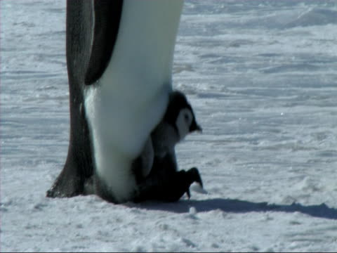 Emperor penguin chick video