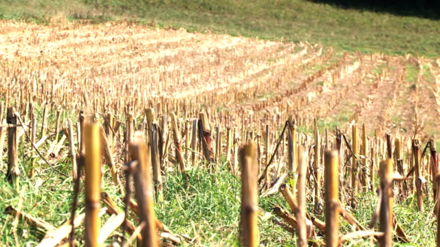 Empty and dried corn field video