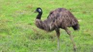Emu Bird in Nature video