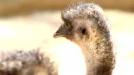 Emu face video