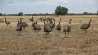 Emus video