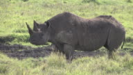 Endangered Black Rhino on Safari in Africa video